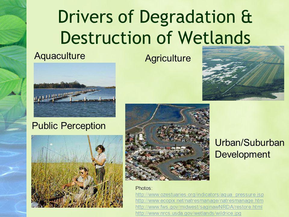 Drivers of Degradation & Destruction of Wetlands Public Perception Urban/Suburban Development Agriculture Aquaculture Photos: http://www.ozestuaries.o