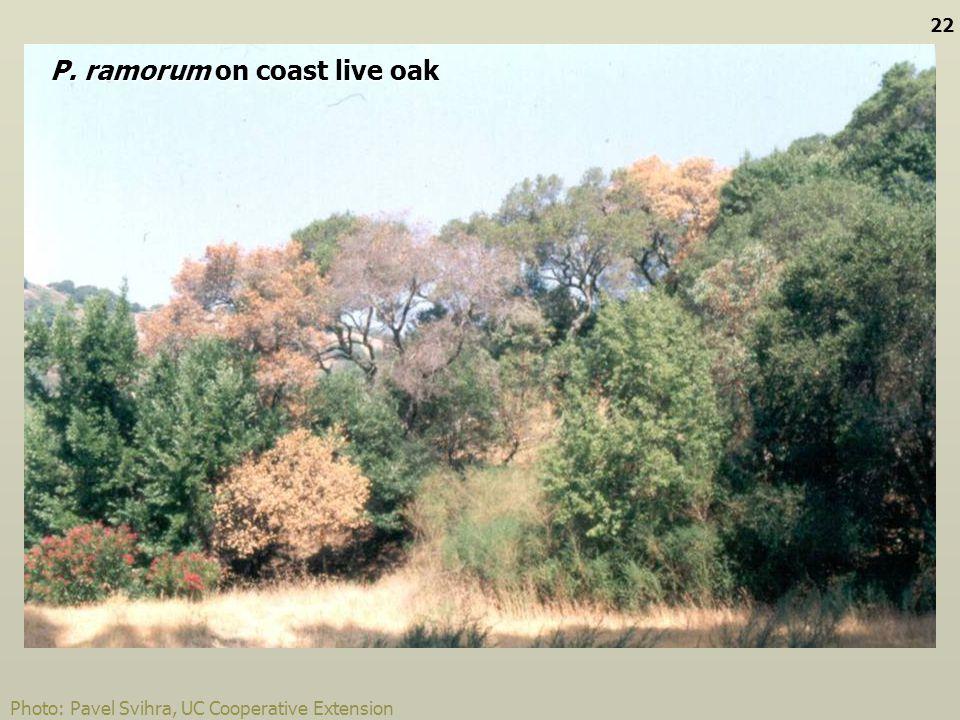 Photo: Pavel Svihra, UC Cooperative Extension P. ramorum on coast live oak 22