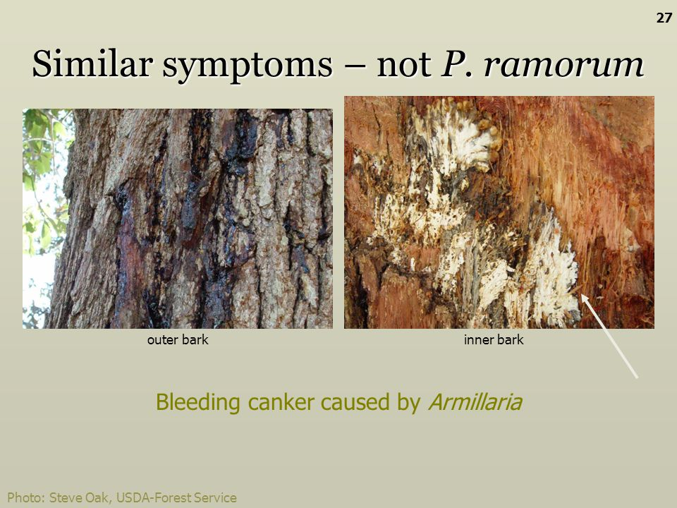Bleeding canker caused by Armillaria outer barkinner bark Similar symptoms – not P. ramorum Photo: Steve Oak, USDA-Forest Service 27