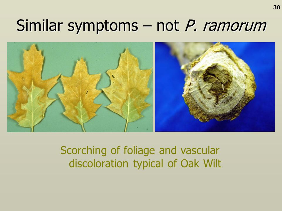 Similar symptoms – not P. ramorum Scorching of foliage and vascular discoloration typical of Oak Wilt 30