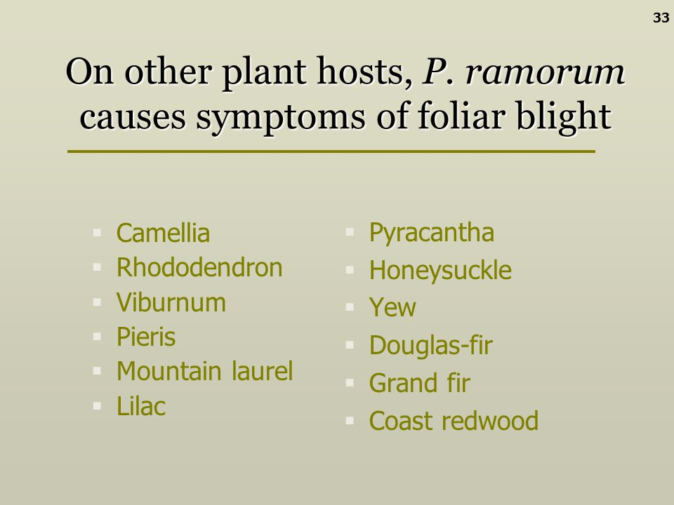 On other plant hosts, P. ramorum causes symptoms of foliar blight Pyracantha Honeysuckle Yew Douglas-fir Grand fir Coast redwood Camellia Rhododendron