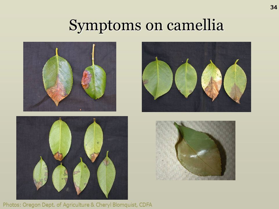 Symptoms on camellia Photos: Oregon Dept. of Agriculture & Cheryl Blomquist, CDFA 34