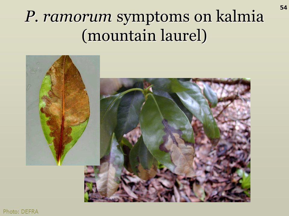 P. ramorum symptoms on kalmia (mountain laurel) Photo: DEFRA 54