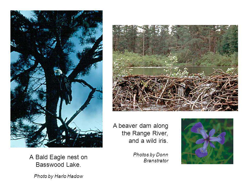 A Bald Eagle nest on Basswood Lake.