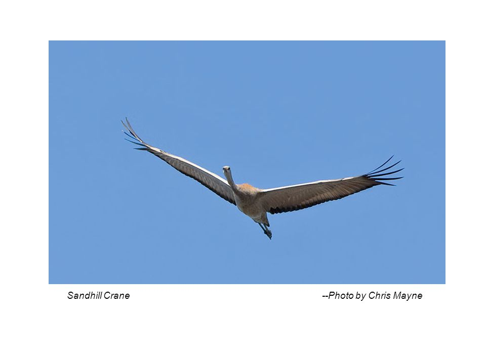 Sandhill Crane --Photo by Chris Mayne
