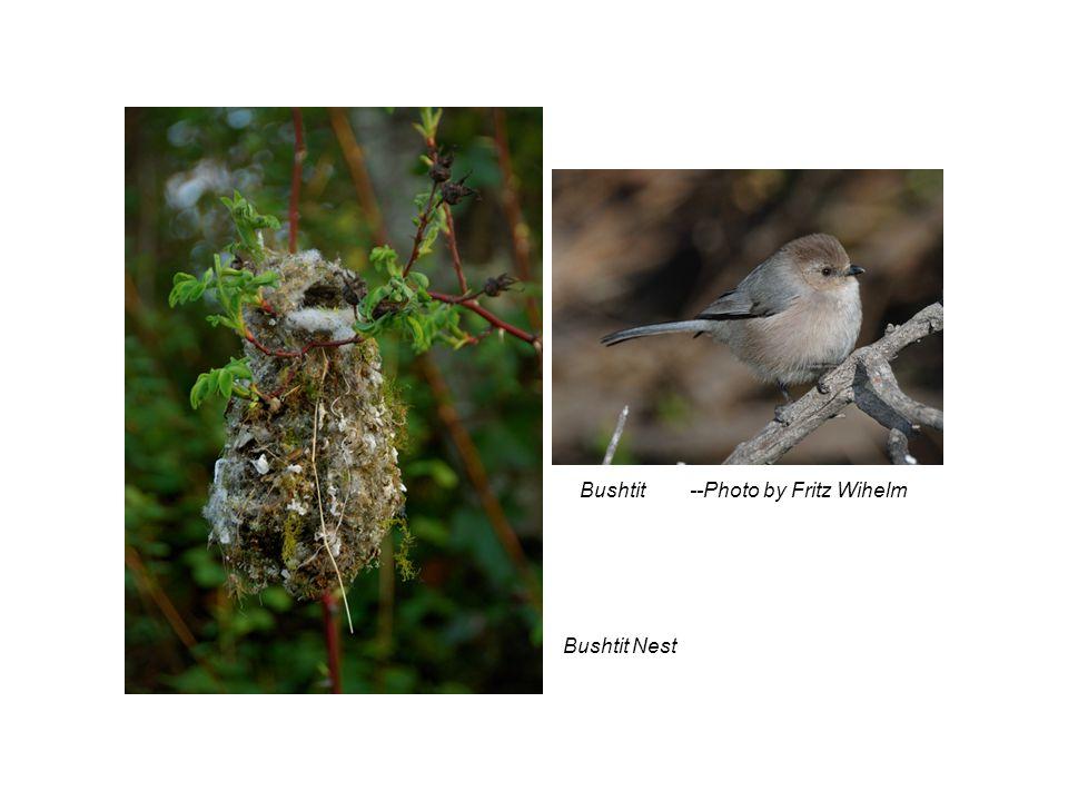 Bushtit --Photo by Fritz Wihelm Bushtit Nest