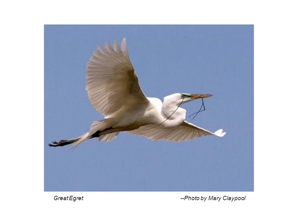 Great Egret --Photo by Mary Claypool