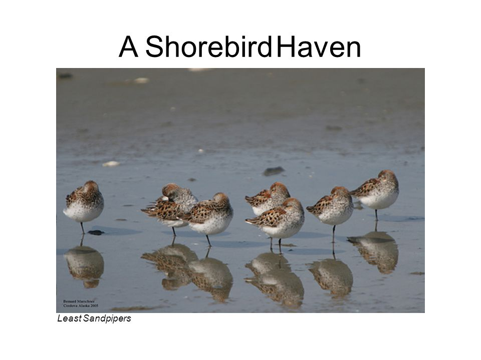 Least Sandpipers A Shorebird Haven