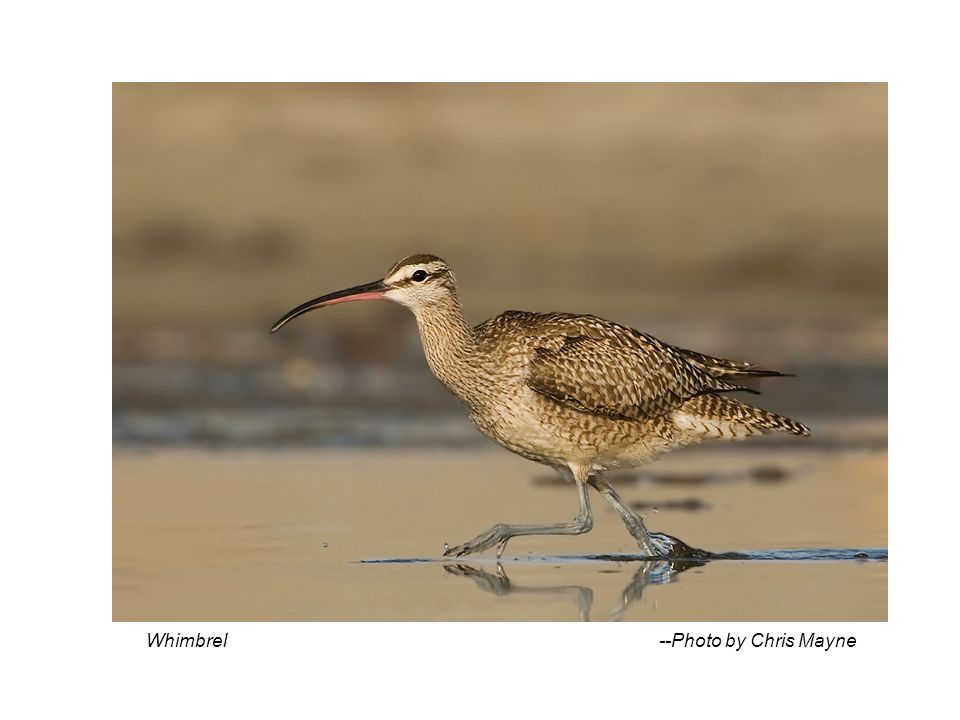 Whimbrel --Photo by Chris Mayne