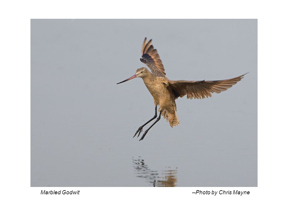 Marbled Godwit --Photo by Chris Mayne