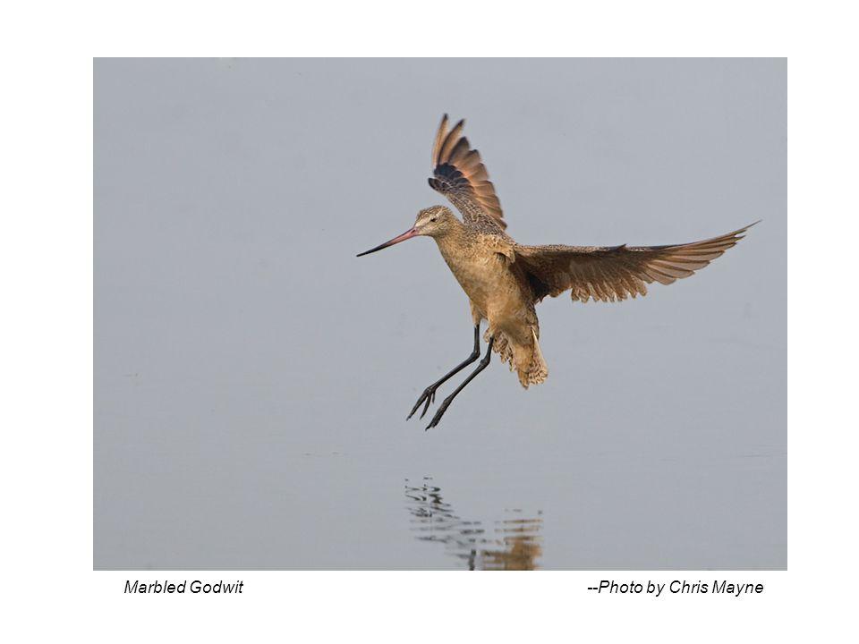 Marbled Godwit --Photo by Chris Mayne