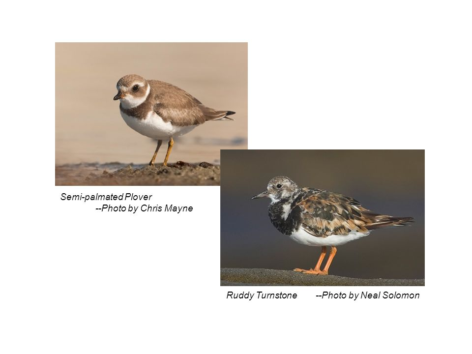 Semi-palmated Plover --Photo by Chris Mayne Ruddy Turnstone --Photo by Neal Solomon