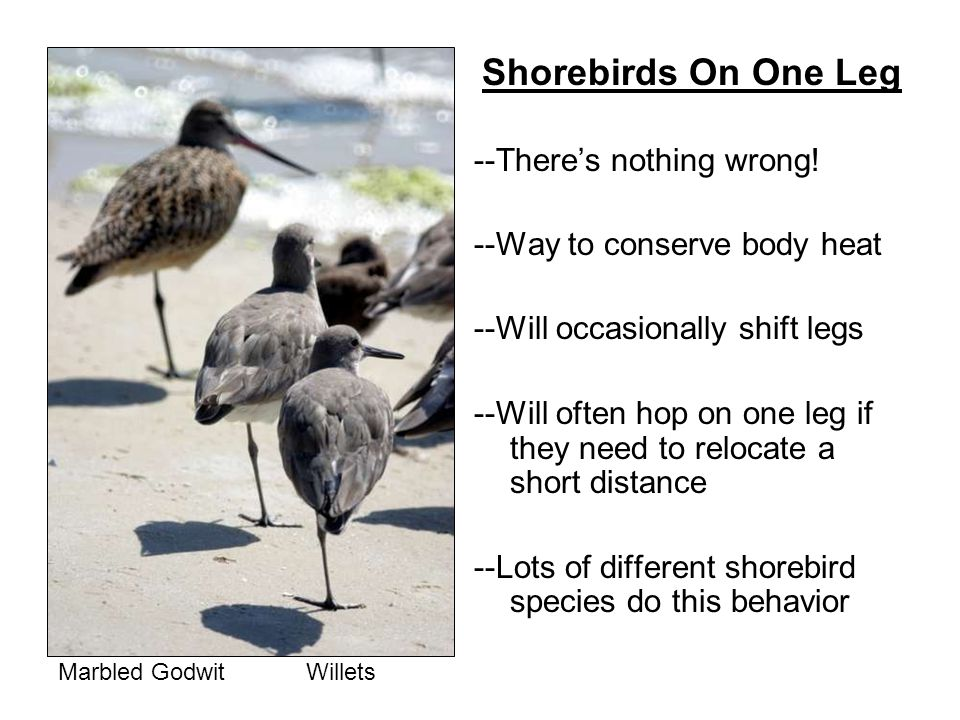Shorebirds On One Leg --Theres nothing wrong.