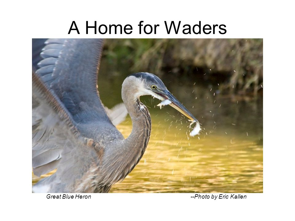 A Home for Waders Great Blue Heron --Photo by Eric Kallen