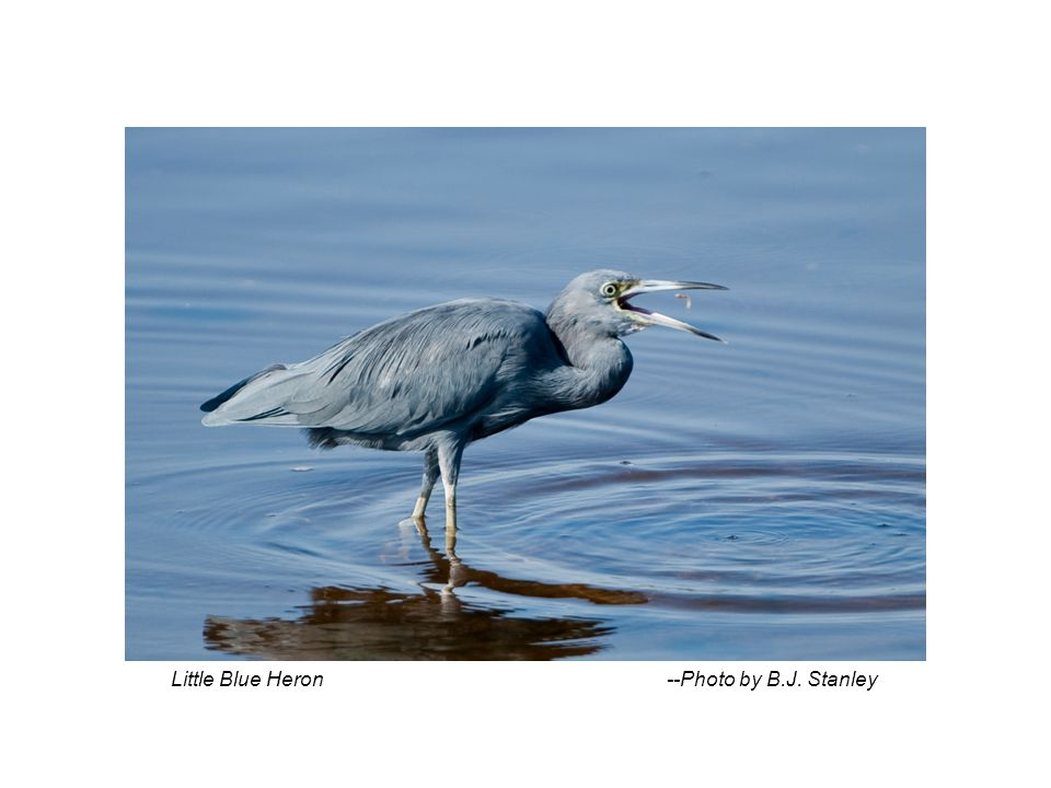 Little Blue Heron --Photo by B.J. Stanley