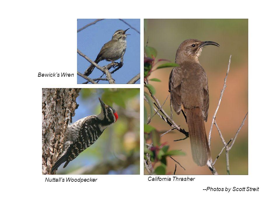 California Thrasher Bewicks Wren Nuttalls Woodpecker --Photos by Scott Streit