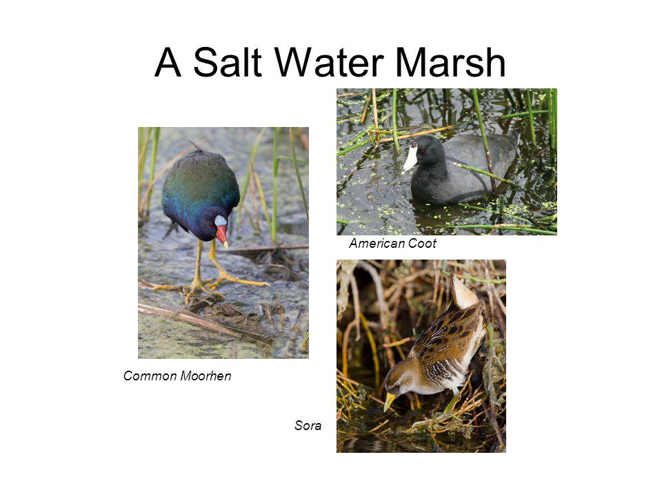 A Salt Water Marsh Common Moorhen Sora American Coot