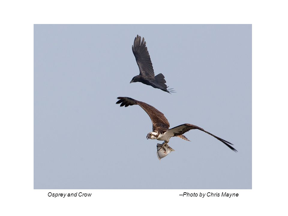 Osprey and Crow --Photo by Chris Mayne