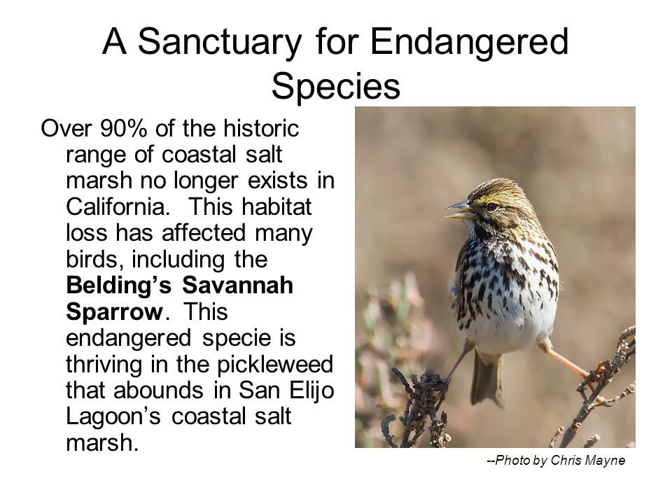 A Sanctuary for Endangered Species Over 90% of the historic range of coastal salt marsh no longer exists in California.
