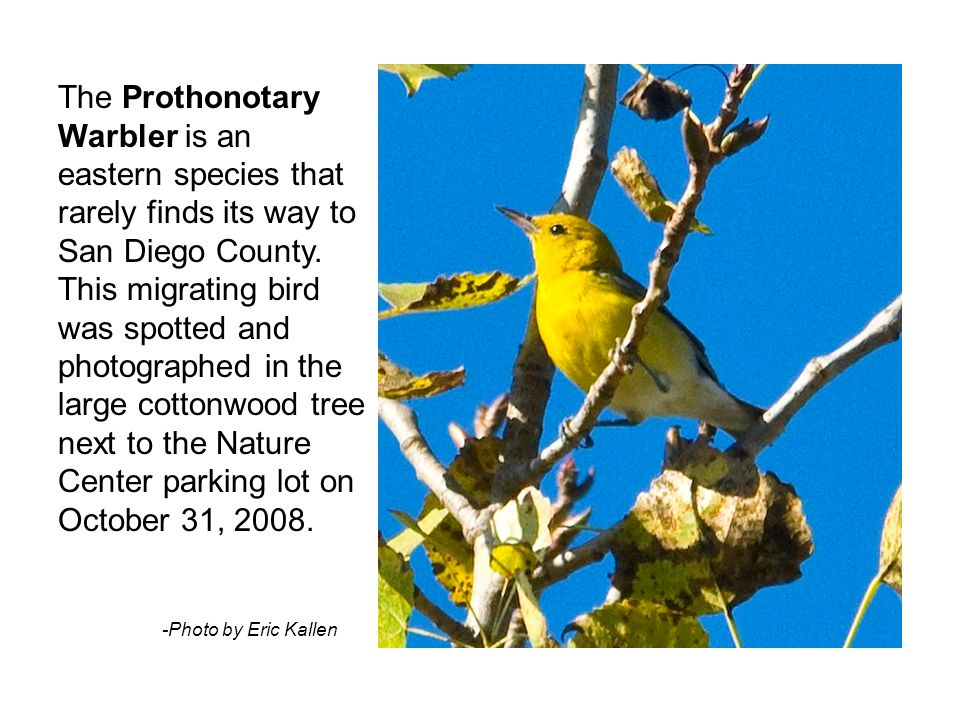 The Prothonotary Warbler is an eastern species that rarely finds its way to San Diego County. This migrating bird was spotted and photographed in the
