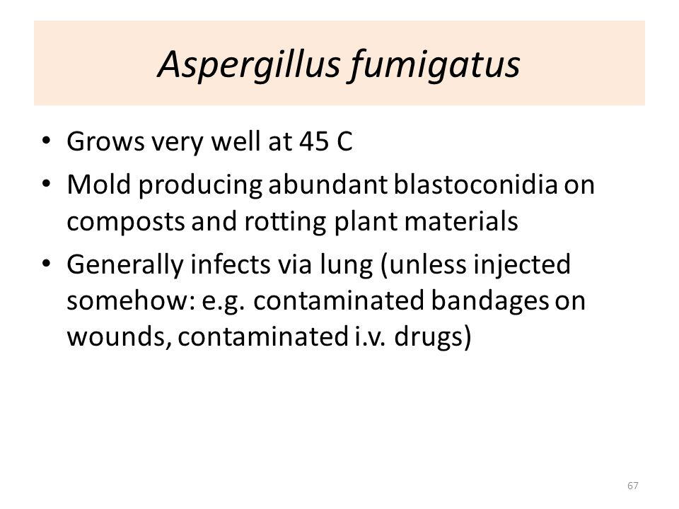 67 Aspergillus fumigatus Grows very well at 45 C Mold producing abundant blastoconidia on composts and rotting plant materials Generally infects via l