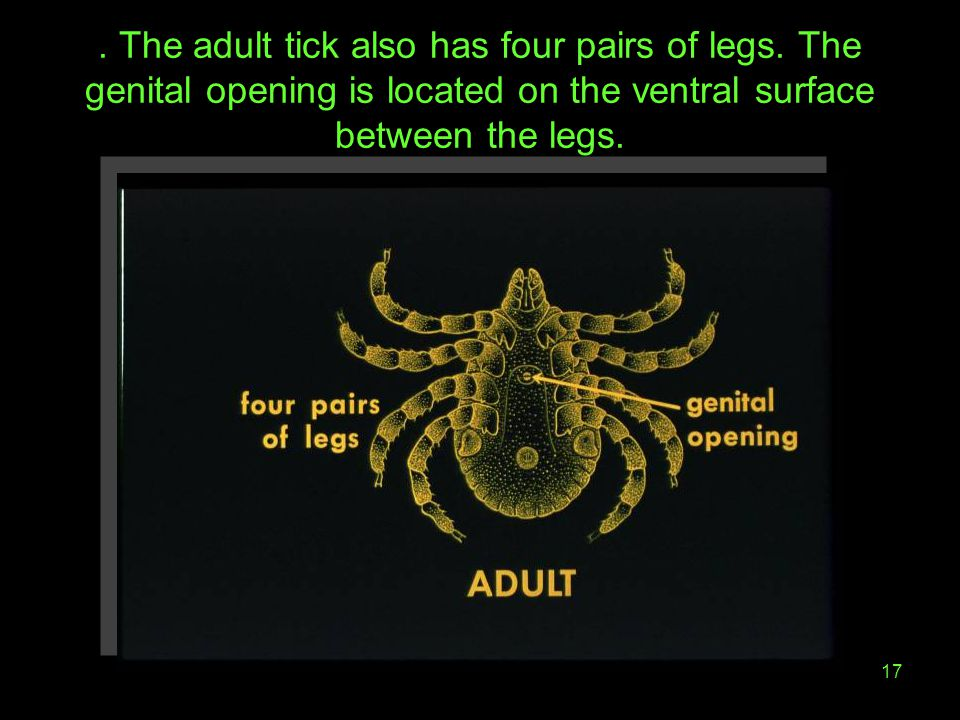 17. The adult tick also has four pairs of legs. The genital opening is located on the ventral surface between the legs.