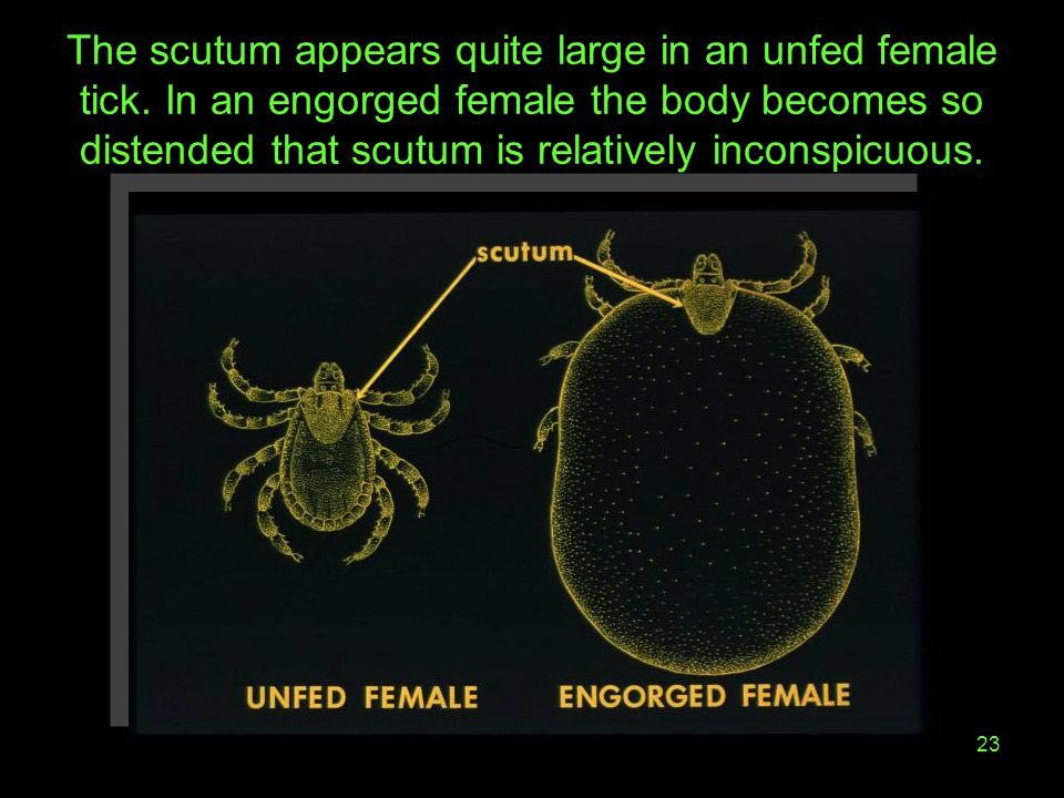 23 The scutum appears quite large in an unfed female tick. In an engorged female the body becomes so distended that scutum is relatively inconspicuous