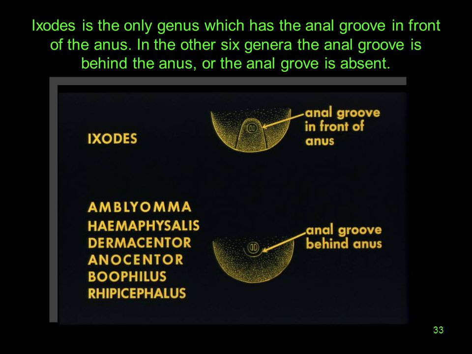 33 Ixodes is the only genus which has the anal groove in front of the anus. In the other six genera the anal groove is behind the anus, or the anal gr