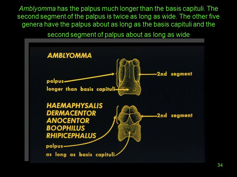 34 Amblyomma has the palpus much longer than the basis capituli. The second segment of the palpus is twice as long as wide. The other five genera have