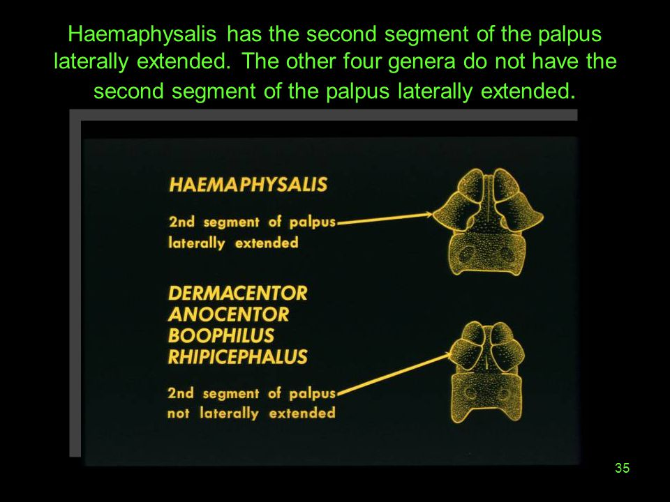 35 Haemaphysalis has the second segment of the palpus laterally extended. The other four genera do not have the second segment of the palpus laterally