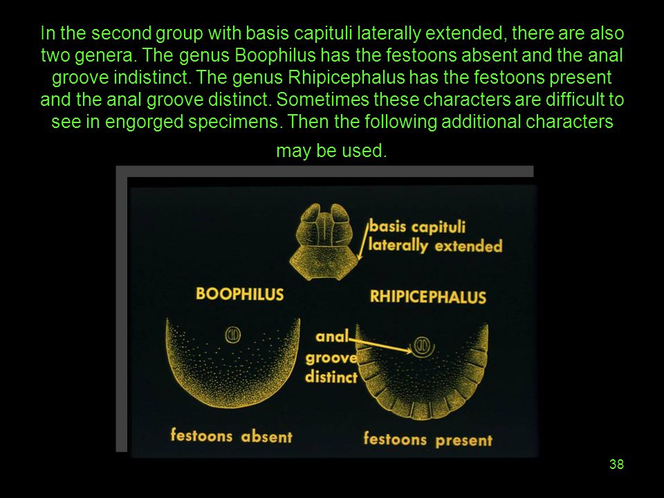 38 In the second group with basis capituli laterally extended, there are also two genera. The genus Boophilus has the festoons absent and the anal gro