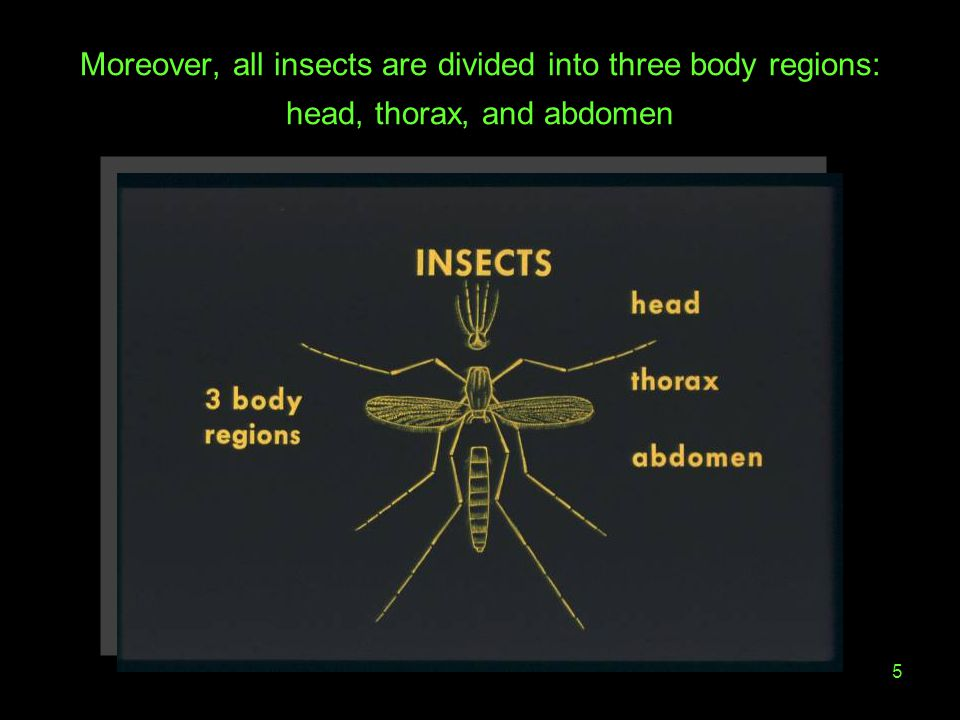 5 Moreover, all insects are divided into three body regions: head, thorax, and abdomen
