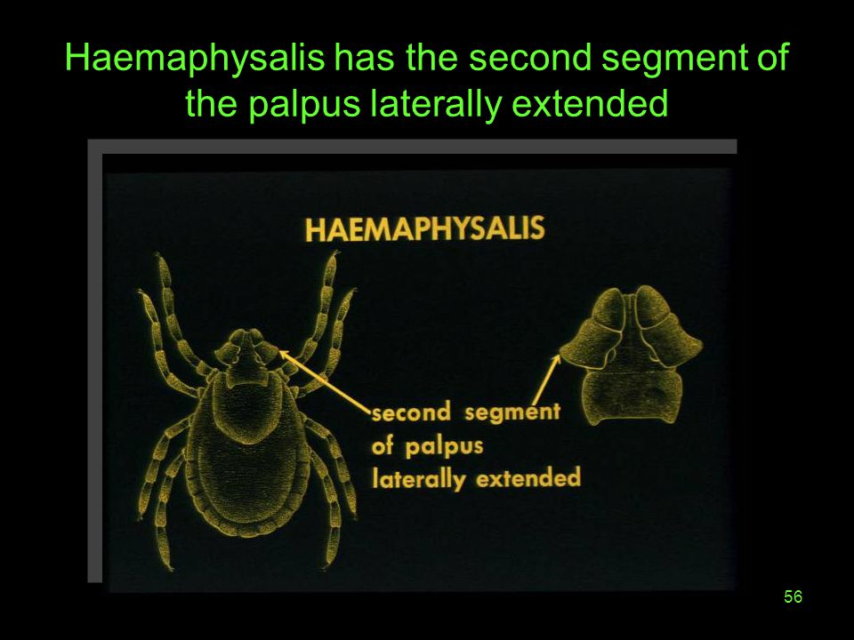 56 Haemaphysalis has the second segment of the palpus laterally extended