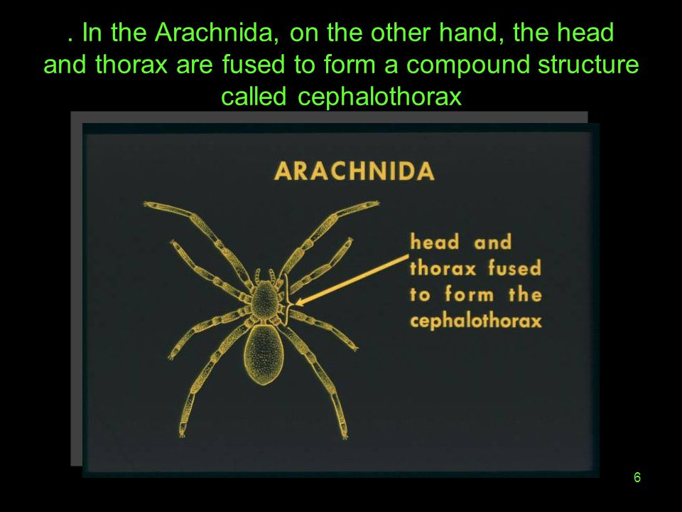 6. In the Arachnida, on the other hand, the head and thorax are fused to form a compound structure called cephalothorax