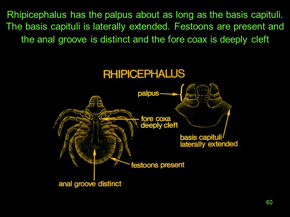 60 Rhipicephalus has the palpus about as long as the basis capituli. The basis capituli is laterally extended. Festoons are present and the anal groov