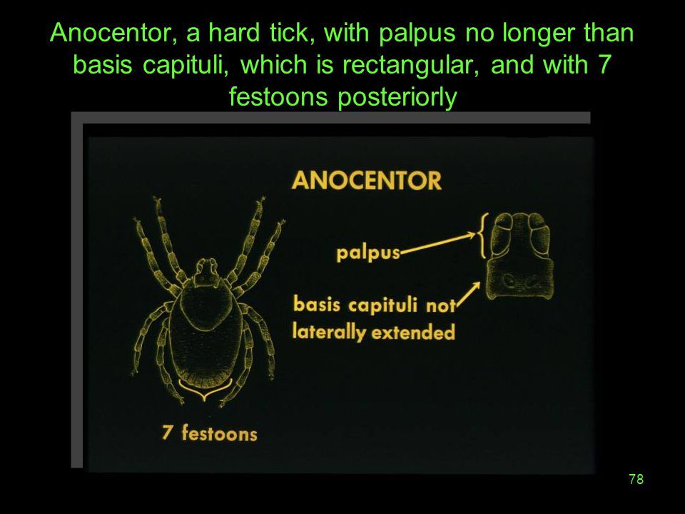 78 Anocentor, a hard tick, with palpus no longer than basis capituli, which is rectangular, and with 7 festoons posteriorly