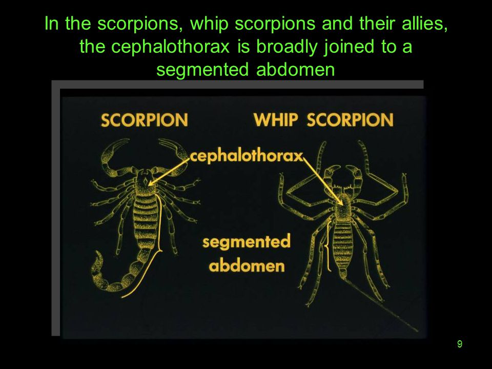 9 In the scorpions, whip scorpions and their allies, the cephalothorax is broadly joined to a segmented abdomen