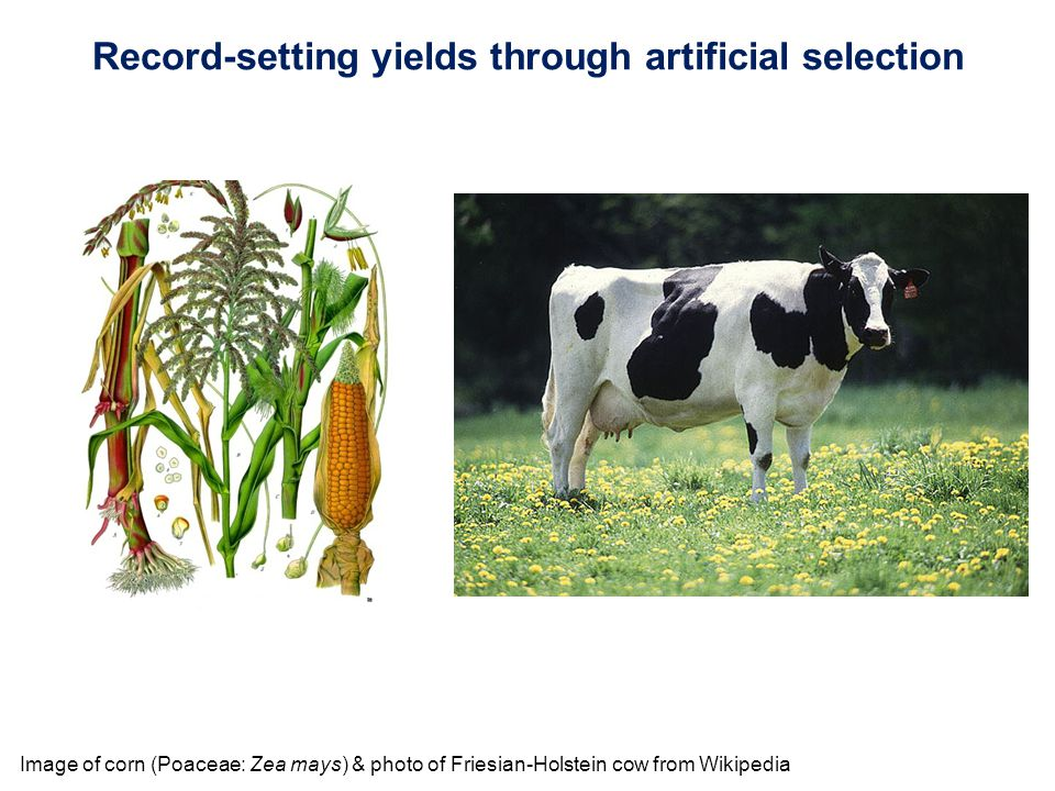 Image of corn (Poaceae: Zea mays) & photo of Friesian-Holstein cow from Wikipedia Record-setting yields through artificial selection