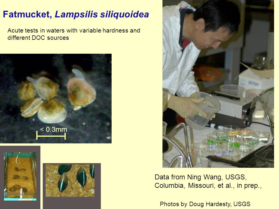 Fatmucket, Lampsilis siliquoidea < 0.3mm Data from Ning Wang, USGS, Columbia, Missouri, et al., in prep., Acute tests in waters with variable hardness and different DOC sources Photos by Doug Hardesty, USGS