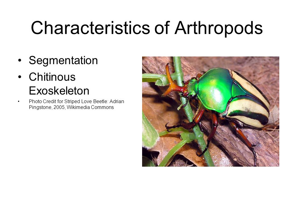 Characteristics of Arthropods Segmentation Chitinous Exoskeleton Photo Credit for Striped Love Beetle: Adrian Pingstone, 2005, Wikimedia Commons