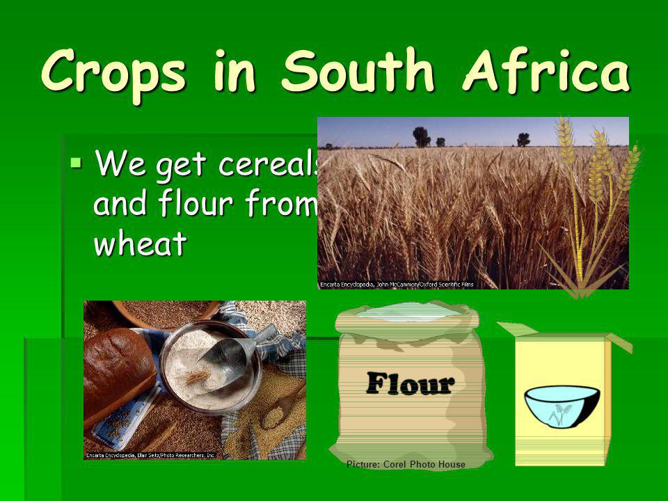 Crops in South Africa We get cereals and flour from wheat We get cereals and flour from wheat Picture: Corel Photo House