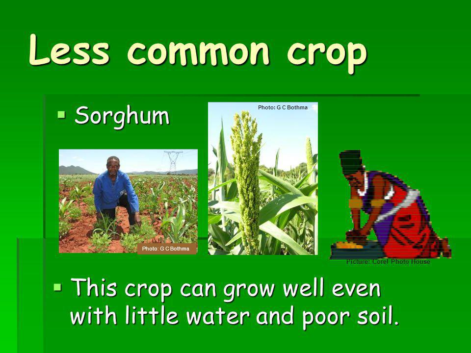 Less common crop Sorghum Sorghum This crop can grow well even with little water and poor soil.