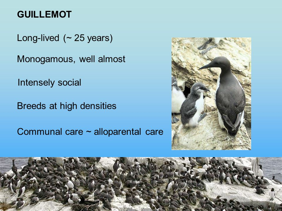 Long-lived (~ 25 years) GUILLEMOT Monogamous, well almost Intensely social Breeds at high densities Communal care ~ alloparental care