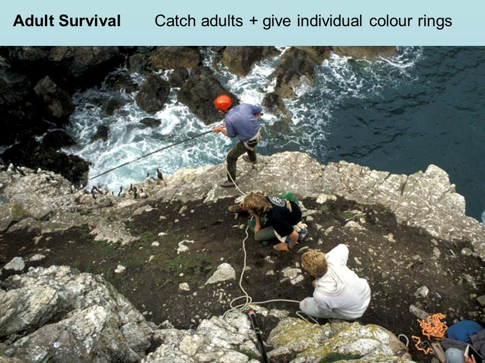 Adult SurvivalCatch adults + give individual colour rings