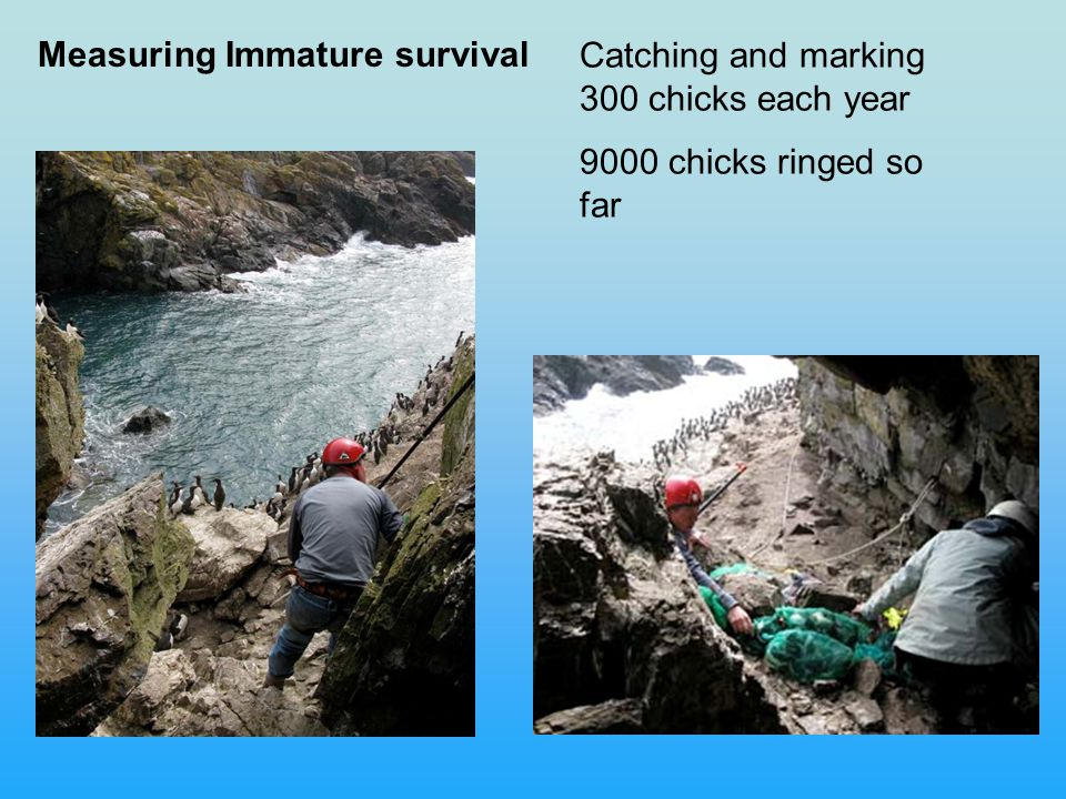 Measuring Immature survival Catching and marking 300 chicks each year 9000 chicks ringed so far