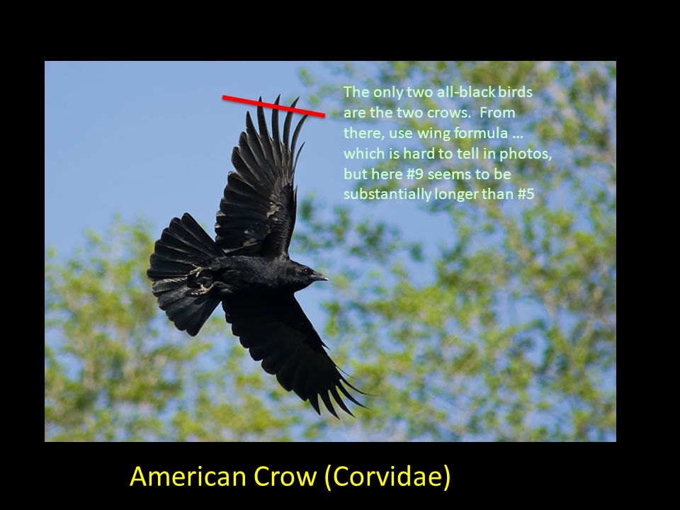 American Crow (Corvidae) The only two all-black birds are the two crows.