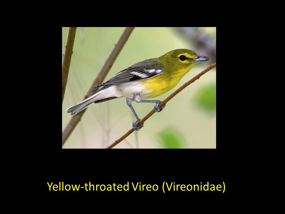 Yellow-throated Vireo (Vireonidae)