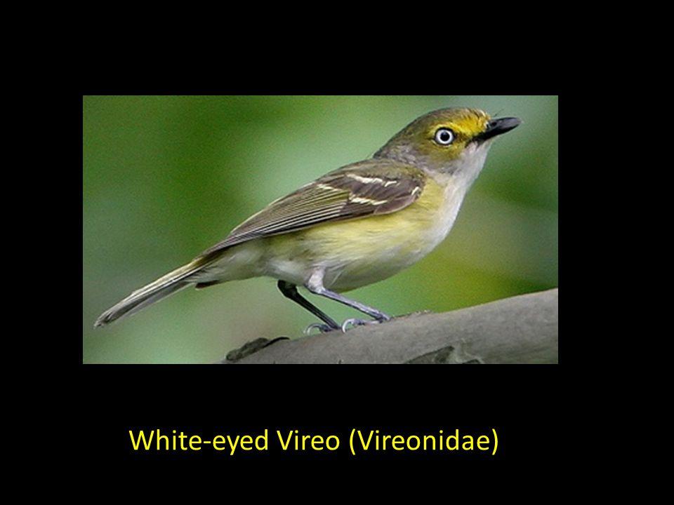 White-eyed Vireo (Vireonidae)