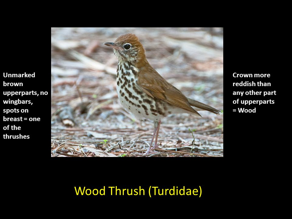 Wood Thrush (Turdidae) Unmarked brown upperparts, no wingbars, spots on breast = one of the thrushes Crown more reddish than any other part of upperparts = Wood