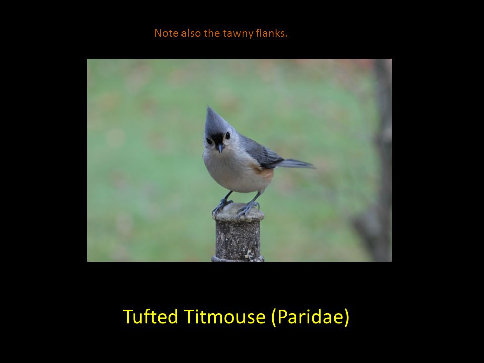 Tufted Titmouse (Paridae) Note also the tawny flanks.